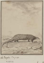Pangolin 1766